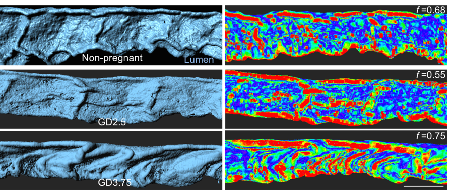 Quantification (right) of folding patterns (left) using matlab, depicted as a heat map