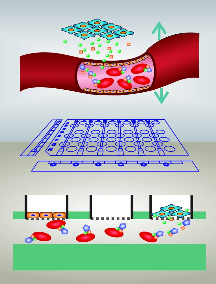 A 3D printed device helps monitor cell to cell communication between pancreatic secretions and the circulation on a controlled in vitro platform