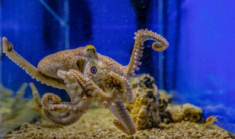 Image of an octopus in its tank